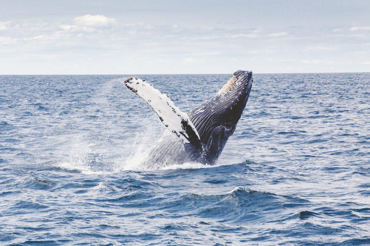 Baleias jubarte nas férias de julho na Bahia