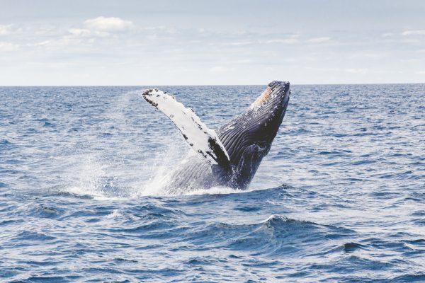 Baleias jubarte na bahia